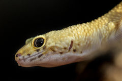 Head of a leopard gecko on black background Royalty Free Stock Image