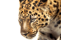 Head of leopard isolated on white Stock Images