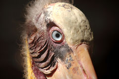 Head of leptoptilos javanicus. Bird Stock Images