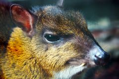 Head of a lesser mouse-deer with a long tusk canine tooth Stock Photography