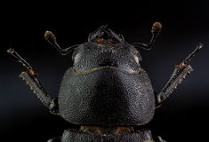 Head of  Lesser stag beetle (Dorcus parallelipipedus). Extreme m Stock Image