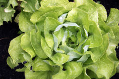 Head of Lettuce Royalty Free Stock Photos
