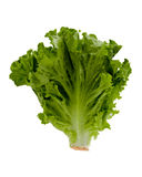 Head Of Lettuce Royalty Free Stock Photography