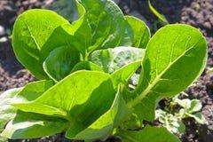 Head of lettuce Royalty Free Stock Photo