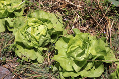 Head of lettuce Stock Images
