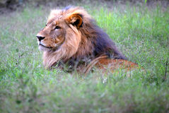 Head Lion. An African lion male hunting in the bush in Kenya on the Maasai Mara game reserve vector illustration