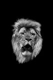 The head of a lion in black and white Stock Image