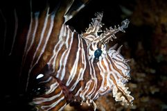 Head of a lion fish Stock Image