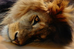 Head lion. Lion on the flor with open eye royalty free stock images