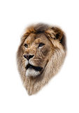 The head of a lion Royalty Free Stock Image