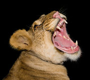 Head of a lioness Stock Images