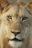 Head of Lioness. Looking directly into camera Royalty Free Stock Image