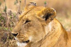 head lioness Mycket härlig lejoninna Royaltyfria Foton