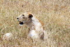 Head of lioness Royalty Free Stock Photography