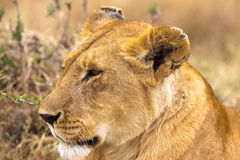 Head of lioness. Very beautiful lioness. Royalty Free Stock Photos