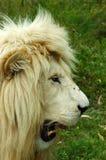 head lionprofilwhite royaltyfri foto