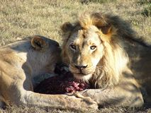 head lions royaltyfri bild