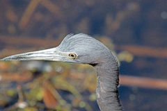 The Head of a Little Blue Heron Stock Photography
