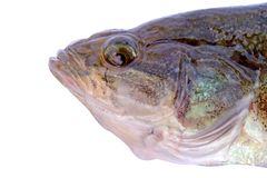 Head of little fish isolate. Head of little fish with closed mouth isolate royalty free stock photos