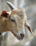 The head of a little goat Stock Image