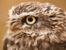 Head of little nothern owl Stock Images
