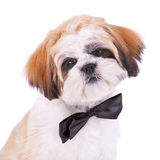 Head of a little shih tzu gentleman Stock Image