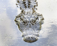 60+ year old Alligator. The head of a live, 12 foot long alligator, at Brookgreen Gardens near Murrell's Inlet, South Carolina. Curators say the gator is over 60 Stock Photography