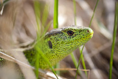 Head of lizard Stock Images