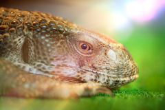 Head of lizard Stock Image