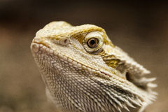 Head of a lizard. Detail of the head of a lizard Stock Photography