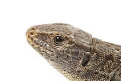 Head of lizard & x28;Lacerta agilis& x29; on a white background Royalty Free Stock Images