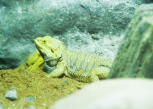 Head Lizard. At zoo royalty free stock images