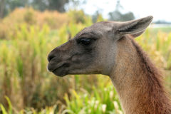 Head of a Llama. The head of a brown llama on a farmers field looking at tall plants in Cotacachi, Ecuador Stock Image