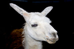 Head of a Llama (Lama glama). Female Llama (Lama glama) head with dark background royalty free stock photography