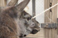 Head of llama (Lama glama) Royalty Free Stock Images