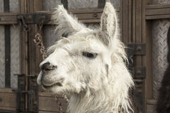 Head of llama Stock Photo