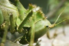 Head of locust Royalty Free Stock Image