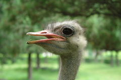 The head of a lone ostrich on the background of green trees royalty free stock images