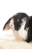 Rabbit looking straight into the lens. Head of lop-eared rabbit in close up Royalty Free Stock Photos