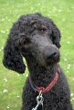 head lyssnande vända för poodle Royaltyfria Bilder