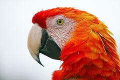 Head of macaw Royalty Free Stock Photo