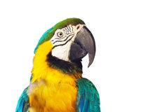 Head of  macaw papagay Royalty Free Stock Photos