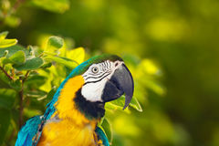 Head of  Macaw papagay Stock Photography