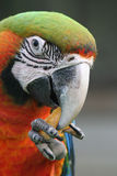 Head of a macaw parrot. The head of a macaw eating a crisp it's holding in its foot Stock Images