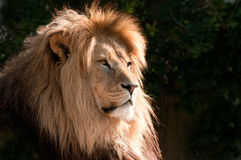 Head of a magnifcent lion Stock Image