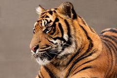 Head of a magnificent Sumatran Tiger Stock Images