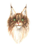 Head of a maine coon. Image of a thoroughbred maine coon cat. Watercolor painting Royalty Free Stock Photos