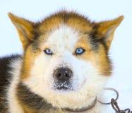 Head Malamute sled dogs on Kamchatka Stock Photos