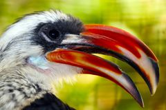 Head of a male decken hornbill with an open beak in profile view in front of a blurry floral background. Head of a male decken hornbill tockus deckeni with an Stock Image