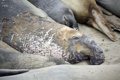 Head of a male elephant seal at a beach. Male Seelion at a meeting place, beach of San Simeon, California Stock Image